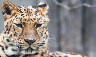 amur-leopard_hero99144569