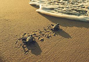 littleleatherbackturtlesrogerleguen_378496